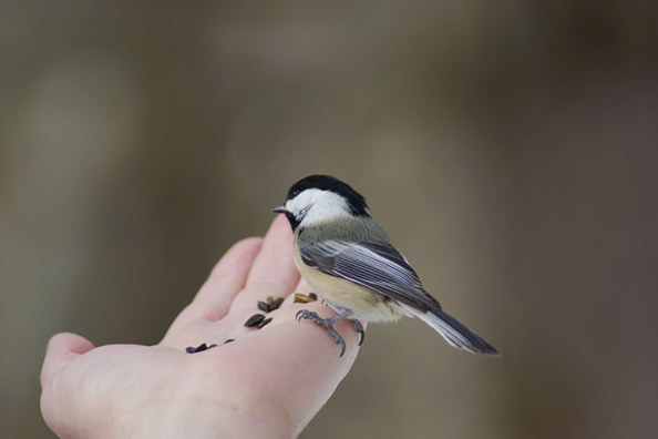 chickadee-on-a-hand